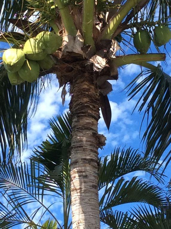 Zoom sur les noix de coco - Allô Sé Ann