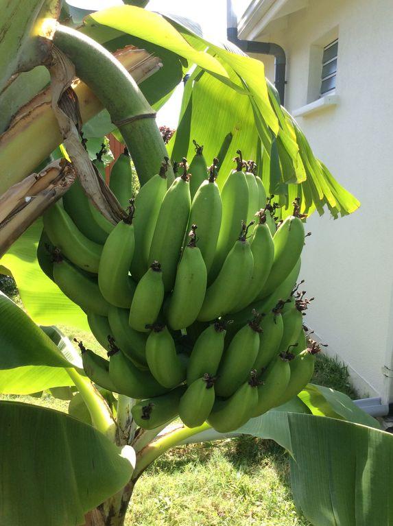 Régime de bananes dans le jardin d'Allô Sé Ann
